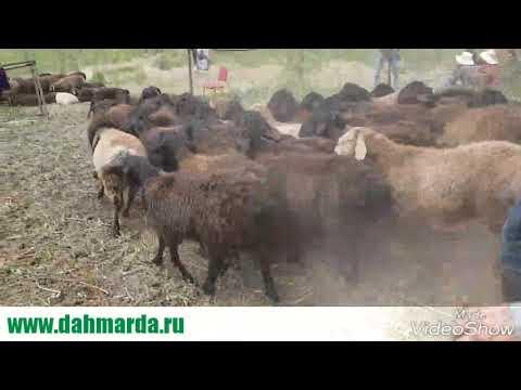 видео: Отбивка барашков гиссарской породы. Хорошие  на лево похуже на базар.