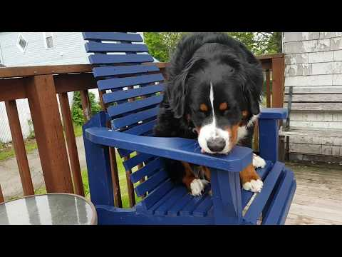 Max our Bernese Mountain Dog trying out the big chair