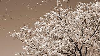 Cover images 桜 - コブクロ(フル)