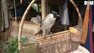 Download lagu Burung kutilang gacor suara keras untuk isian burung aduan murai cucak ijo MP3