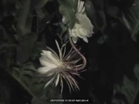 Flor Exotica El Galan De Noche Youtube