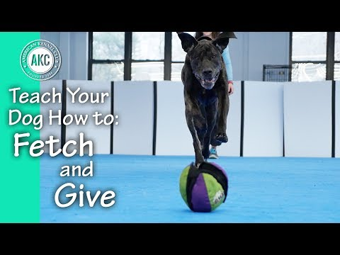 Teach Your Dog How to Fetch it and Give - AKC Trick Dog