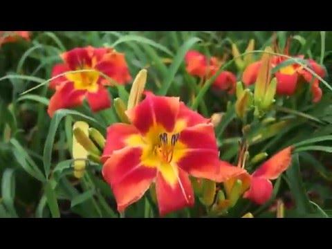 The Lily Farm BRAZILIAN FLAMINGO 2016 tet introduction