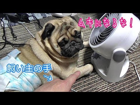 and-then-my-dog-was-very-depressed.【funny-pug-comedy-videos-from-japan】