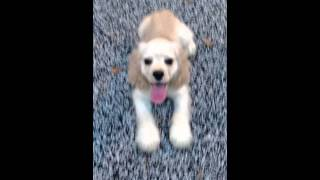 Cocker Spaniel Puppy For Adoption - 5 Months, ~ • Lady �..