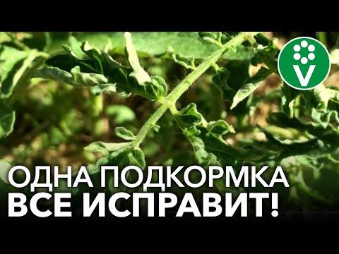 СКРУЧИВАЮТСЯ ЛИСТЬЯ У ТОМАТОВ? Помогите им быстро и эффективно! | скручиваются | томатов | почему | листья | поч | у