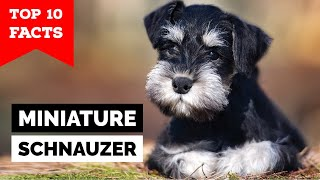 Miniature Schnauzer  Top 10 Facts