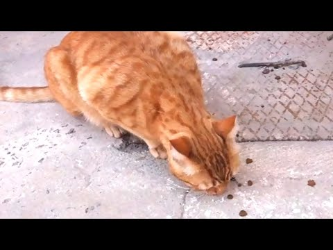 Cat asking for help! hungry stray Cat calling me for help! Homeless Cat asking for help!