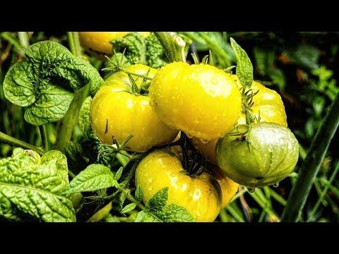 Вопрос: Какие характеристики томата Разноцветное сокровище?
