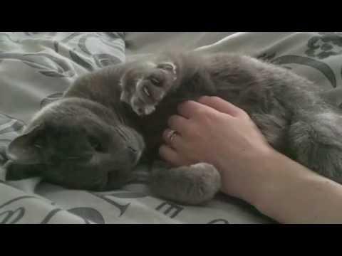 Russian Blue Cat enjoying a tummy rub, very cute!!!