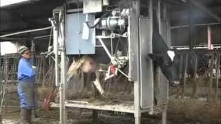 ANKA Hoof Trimming Crush, Cattle Chute: One Hoof Trimmer No Assistant