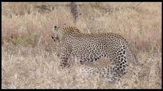 Panther Attack - Discovery Channel National Geographic Documentary - Wild Animal Planet 2019