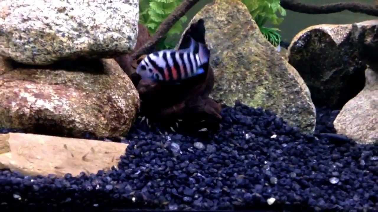 Convict Cichlid Fish   Convict Cichlid Tank Explanation Youtube