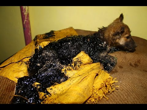 Puppy rescued covered in tar, watch her happy ending!