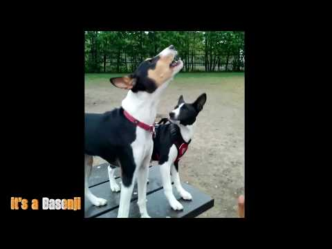 The Basenji Yodel (Baroo)