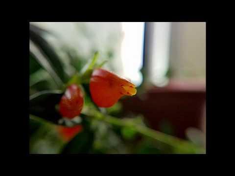 Flowers On My Goldfish Plant!