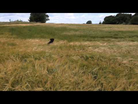 Dog beyond excited to be running through wheat field