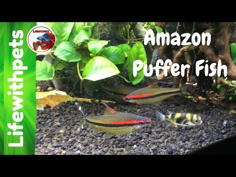 Amazon Puffer Fish Updates And Feeding.