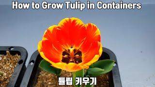 화분에 튤립 키우기 / How to Grow Tulip…
