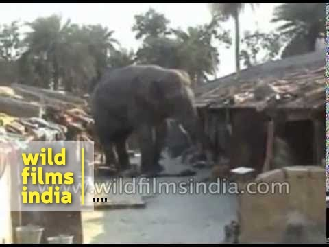 Elephant damages village huts in Jamuria, India