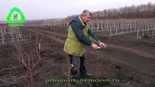 видео Формирование кроны яблони