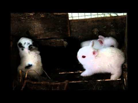 การเลือกชื้อกระต่ายแคระ ไม่ให้เป็นกระต่าย ยักษ์