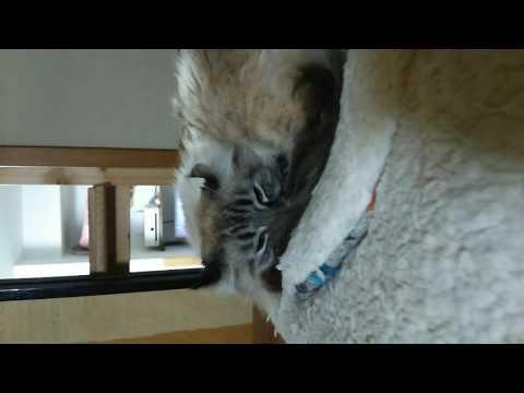 American curl cat  Cheetang sleeping now オッケー牧場!