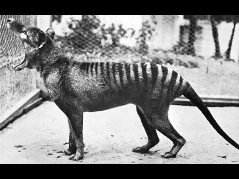 Have Tasmanian tigers been 'spotted' in northern NSW ? - ABC Radio