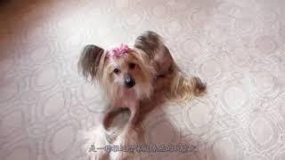 中国最丑的狗狗,却是性格温顺的贵族,发型莫名有点帅!