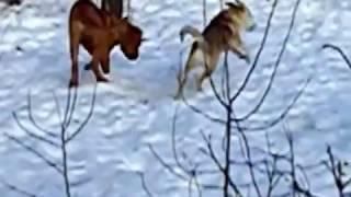 Бордоский дог (французкий мастиф) Тоса-ину (японский мастиф) Аляскинский маламут Доберман пинчер