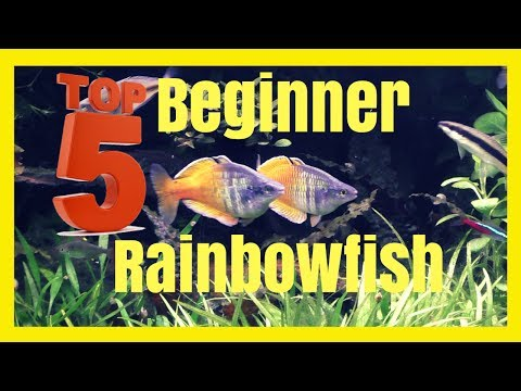Top Five Beginner Rainbowfish - Excellent Community Fish