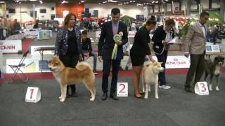 Japanese AKITA in European dog show 2016