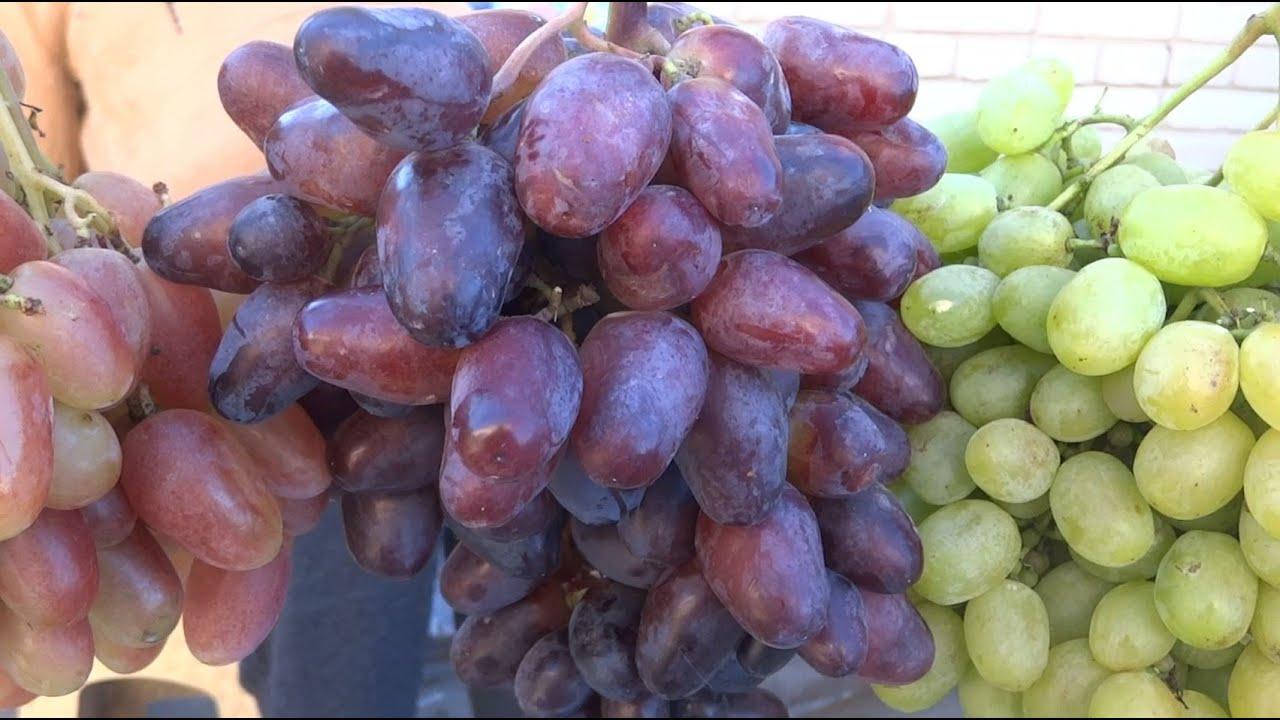 Осенний вернисаж  винограда, сохранившегося на 17.09.2021