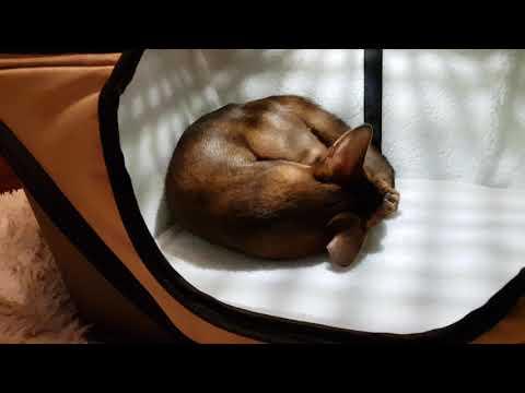 Абиссинский кот Серафим и новая переноска Triol. Abyssinian cat