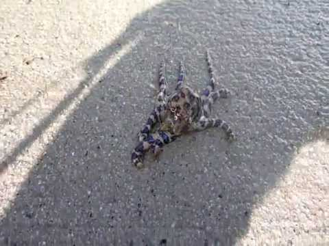 Blue Ringed Octopus - Death In A Beer Bottle (Part 2)