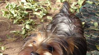 Sophie - Rehoming Female Yorkshire Terrier