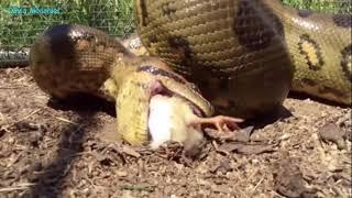 Дикие животные Гигантский змеи против птиц / Охота животных / СТРАШНЫЕ НАПАДЕНИЕ ЖИЗНЬ ЖИВОТНЫХ