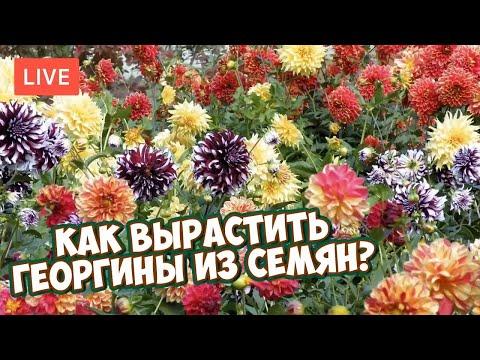 Как вырастить георгины из семян в домашних условиях на рассаду