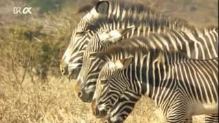 Planet Wissen - Serengeti, Paradies für Zebra, Löwe und Co