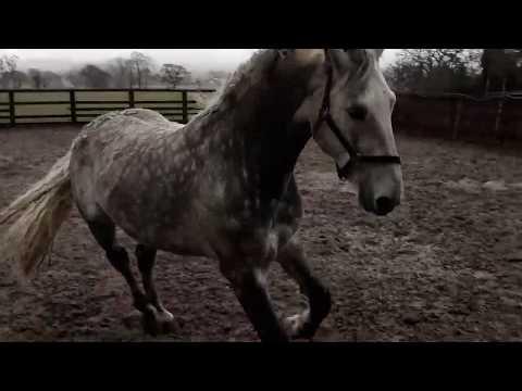 Diamond Lodge RID stallion