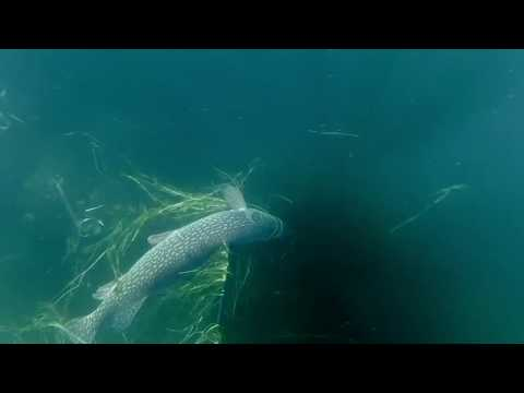 Spearfishing Lake Diefenbaker, Saskatchewan