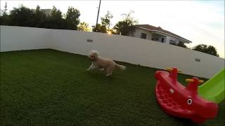 Gopro Slo-mo Test At 720p W Toffee The Poodle