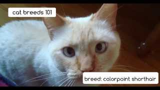 Colorpoint Shorthair Cats | Cat Breeds 101