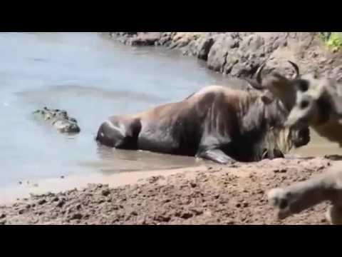 Mad Buffalo Kills a Lion   Hippo vs Crocodile, Giraffe vs Lion, Rhinoceros, Elthant, Shark, Bear