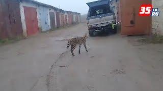 Вологжанин снял на видео гуляющего по гаражам гепарда на улице Воркутинской