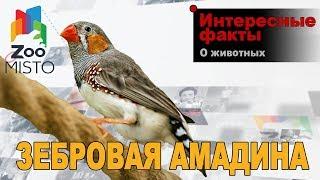 Зебровая амадина - Интересные факты о виде | Вид птицы зебровая амадина