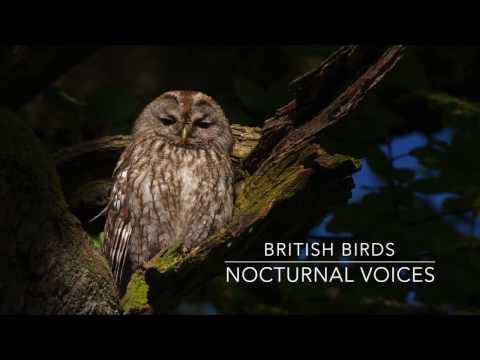 British Birds - Nocturnal Voices