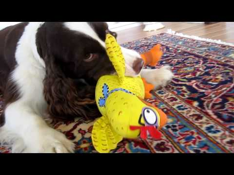 English springer spaniel growls like lion