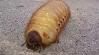 Larva Kumbang Badak - Perusak Akar Pohon Pepaya 13-04-2013