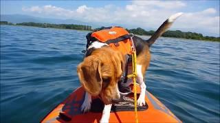 カヌー犬ガクに憧れて ビーグルを飼ったんだが。 ビリーと行く初めての...
